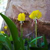 Glacier Lilies in Shadow: Wildflowers from the Uinta and Wastach mountains of Utah