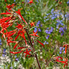 Scarlet Gila: Wildflowers from the Uinta and Wastach mountains of Utah