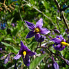 Woody Nightshade: Wildflowers from the Uinta and Wastach mountains of Utah