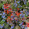 Red on Blue: Wildflowers from the Uinta and Wastach mountains of Utah