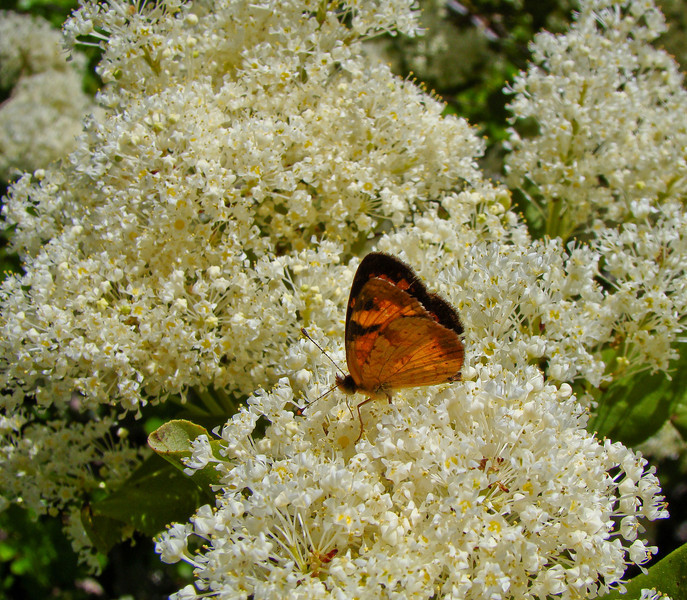 Lady on Chockcherry: Wildflowers from the Uinta and Wastach mountains of Utah
