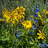 Blue on Yellow: Wildflowers from the Uinta and Wastach mountains of Utah
