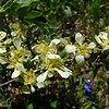 Cliff Rose: Wildflowers from the Uinta and Wastach mountains of Utah