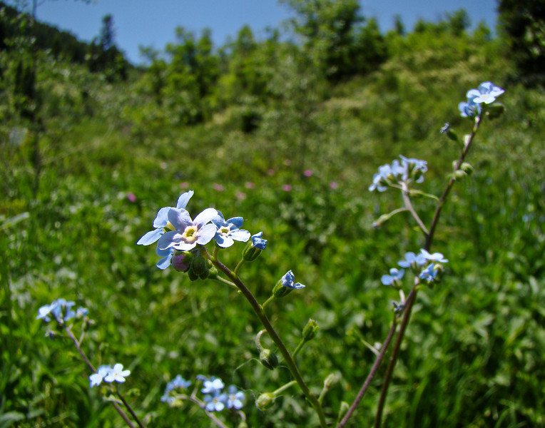 Phloix: Wildflowers from the Uinta and Wastach mountains of Utah