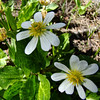Marsh Marigold: Wildflowers from the Uinta and Wastach mountains of Utah