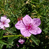 Geranium: Wildflowers from the Uinta and Wastach mountains of Utah