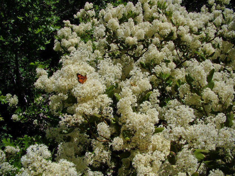 Lady on Chokecherry: Wildflowers from the Uinta and Wastach mountains of Utah