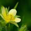 Profile of Yellow Cinquefoil