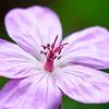 Pink Sticky Geranium