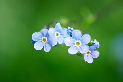 Blue Showy Stickseed
