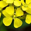 Golden Yellow Western Wallflower
