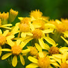 Yellow Basin Butterweed