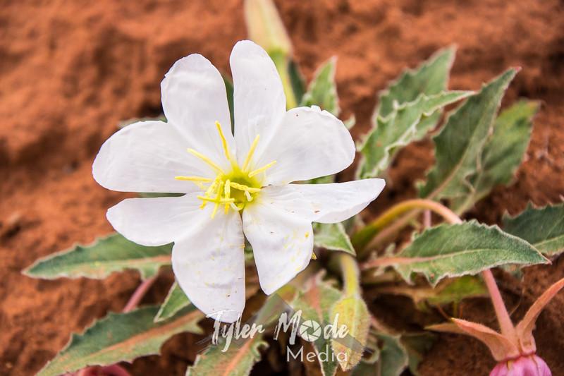 99  G Desert Flower