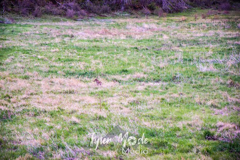 776  G Mesa Verde Coyote