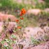 79  G Orange Flower