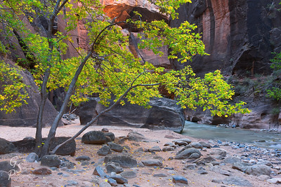 Zion Moment in the Narrows under a yellow cottonwood and beside the Virgin River.