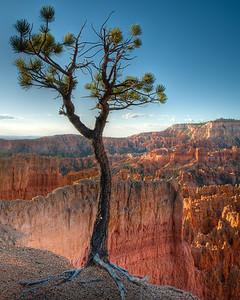 Lone Tree Vigil  Overlooking the valley of hoodoos, this lone tree stands vigil. Bryce Canyon National Park, Utah, USA