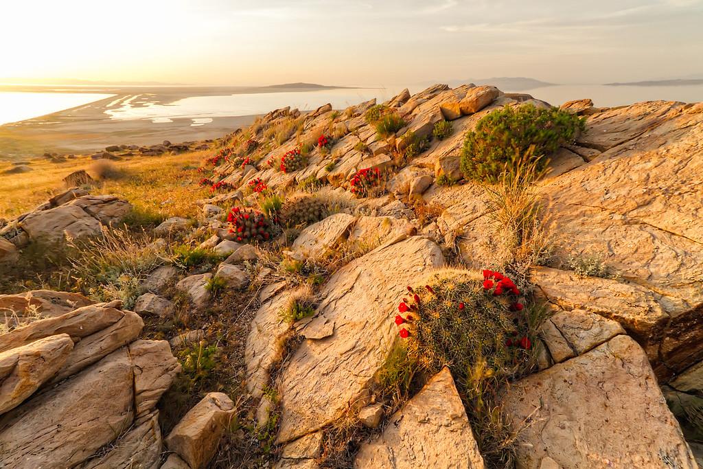 Stansbury Island Claret Cup Cactus