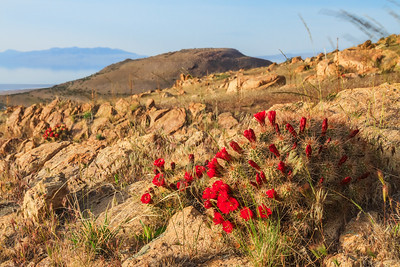 Stansbury Island Claret cup