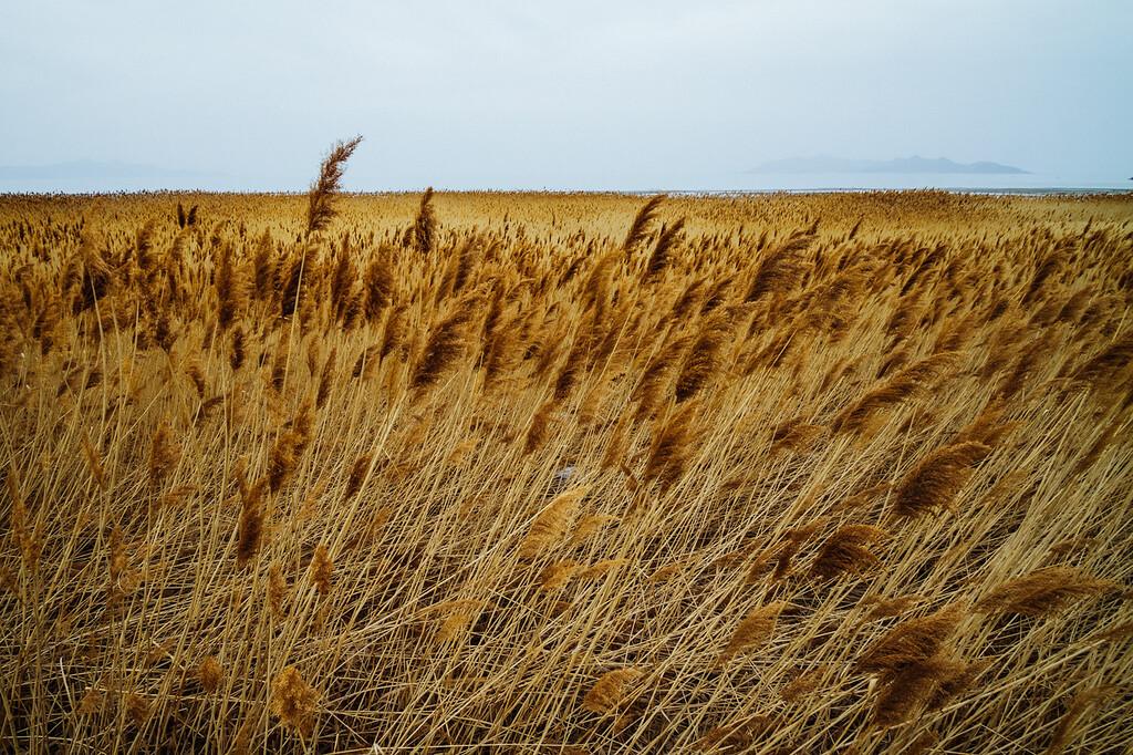 Phragmites, the common reed