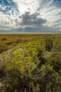 Rabbit brush and late summer storm