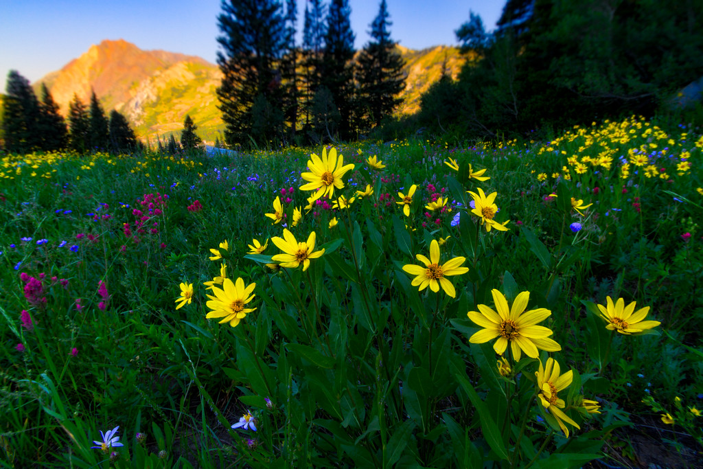 Summer flowers albion basin