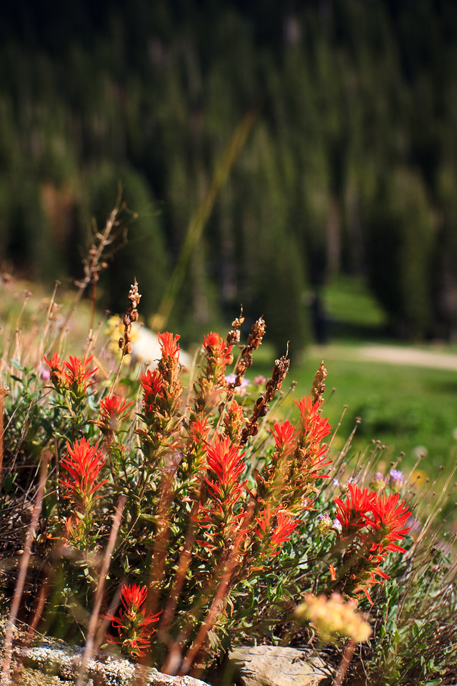 Castilleja - Indian paintbrush