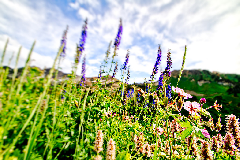 albion basin summer flowers
