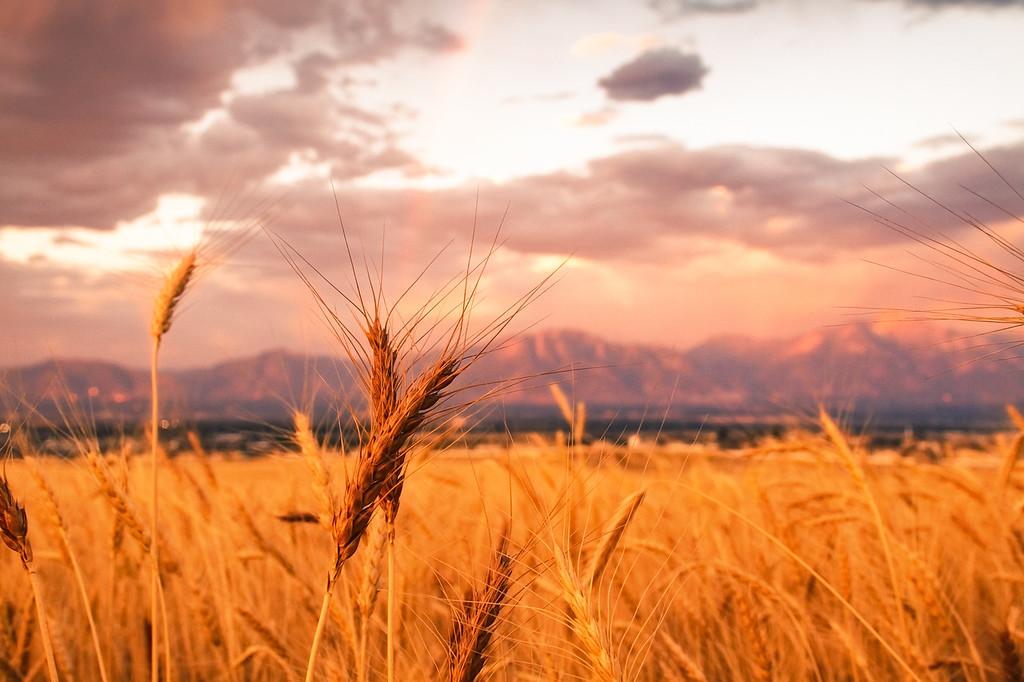 Wheat and Rainbow