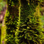 Ferns and Moss II in Uvas Canyon DSC_2780