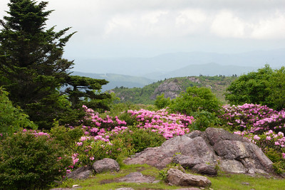 rhododendrons in bloom in the Mt. Rogers National Recreation Area in southwest VA. 6-15-2009