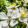 Multiflora Rose (Rosa multiflora). An invasive (in NJ) species in the rose family.<br /> Tenafly Nature Center, NJ - June 2018