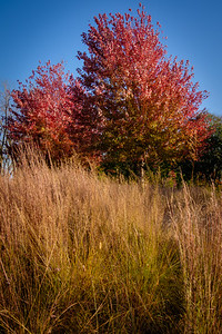 Grass and Red Maple