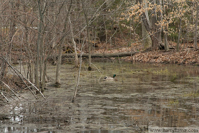 A couple of ducks in a small swamp in South Burlington, near the dentist's office.