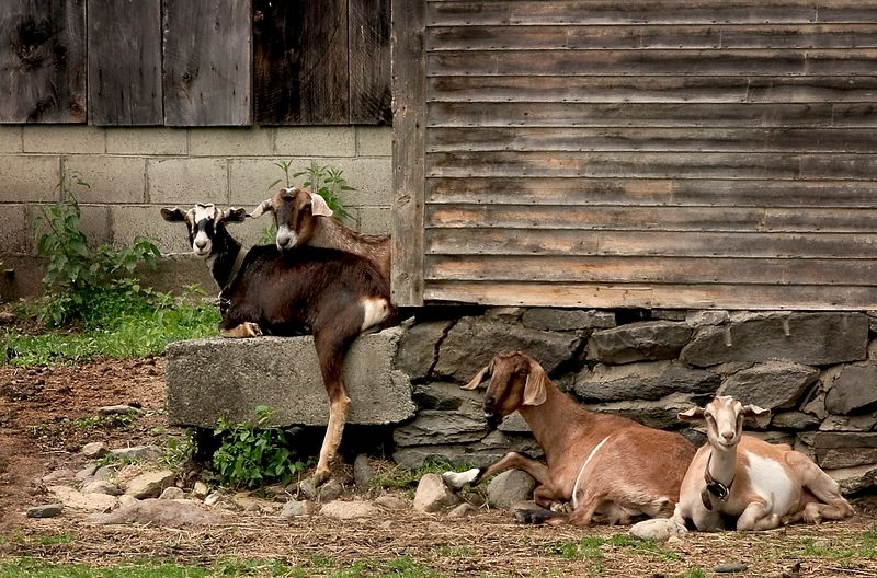 Goats resting on a farm in Vermont