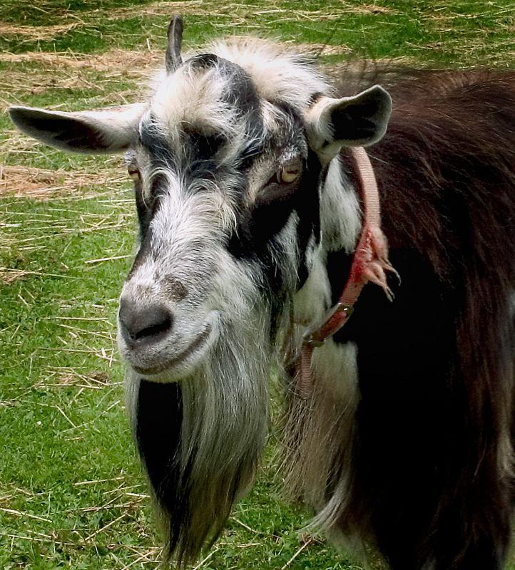One Horned Billy Goat