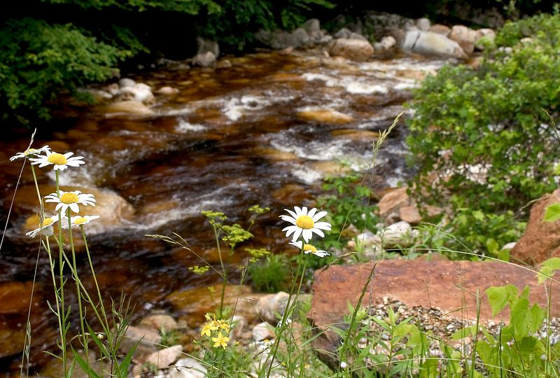 Daisies by the Stream