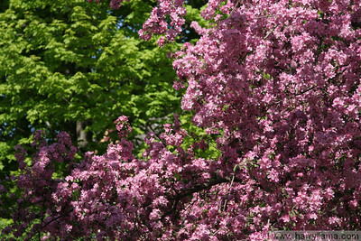 Flowering trees along High Street in St. Albans, Vermont