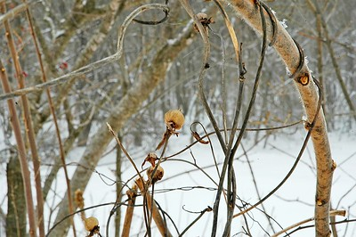 Winter Tangles of Morning Glory