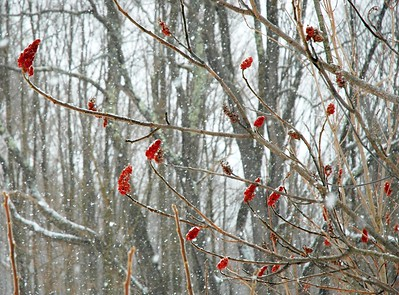 Winter Sumac II