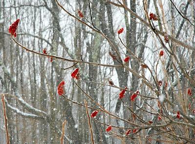 Winter Sumac II