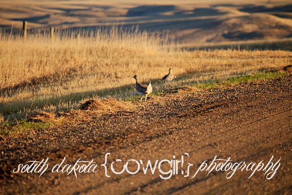 Prairie Chickens