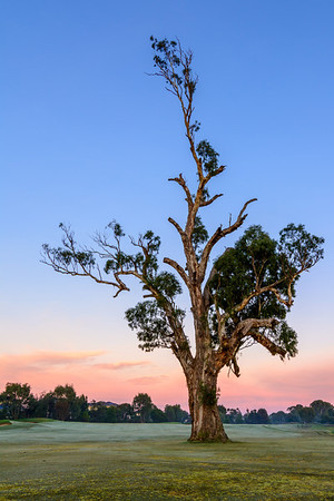 Lone Fairway Tree on 10th - North Course