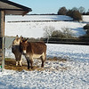 "Donkeys in the snow on the hills outside Berkhamsted in Hertfordshire.  For mapping <a href=""http://www.geograph.org.uk/photo/1911994"">http://www.geograph.org.uk/photo/1911994</a>."