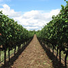 In the row!<br /> Manicured grape rows, trying to get grapes to ripen for 2010 harves.