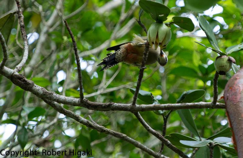 West Indian Woodpecker