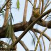 Palm warbler???