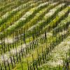 Vineyard and Spring Flowers