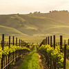 Vineyard and Rolling Hills