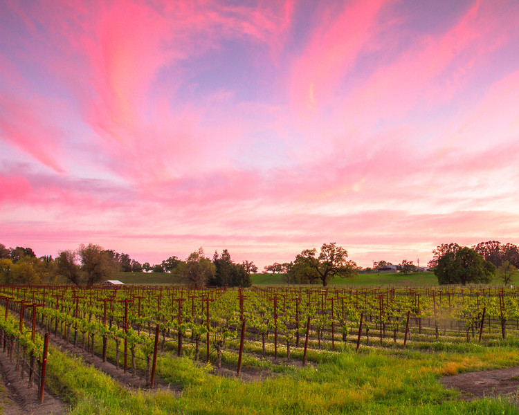 Vineyard and Pink Clouds